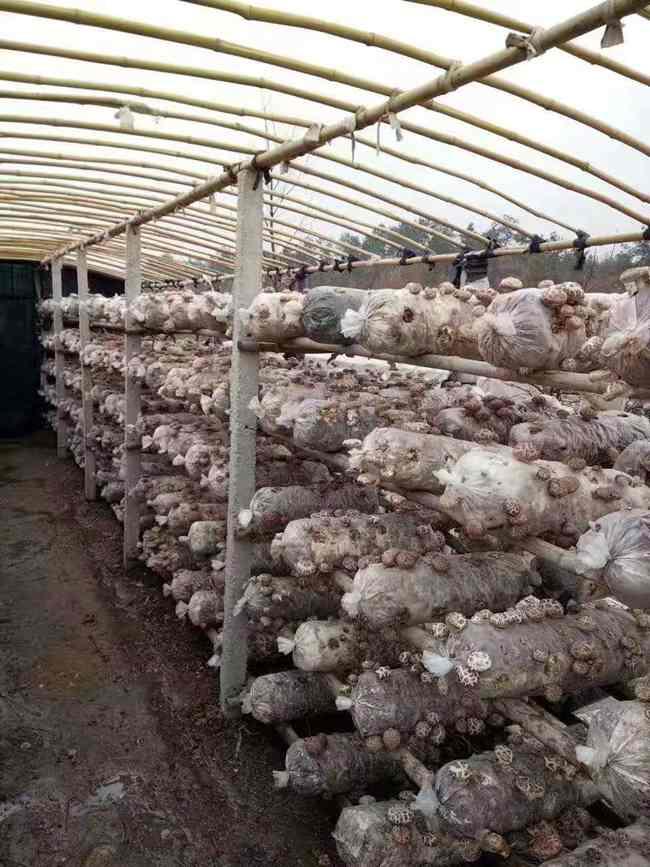 """身在异乡说""""菇乡"""",我为家乡农货代言:随州香菇香飘海外  随州袋料香菇 农村 食用菌 家乡特产 第2张"""